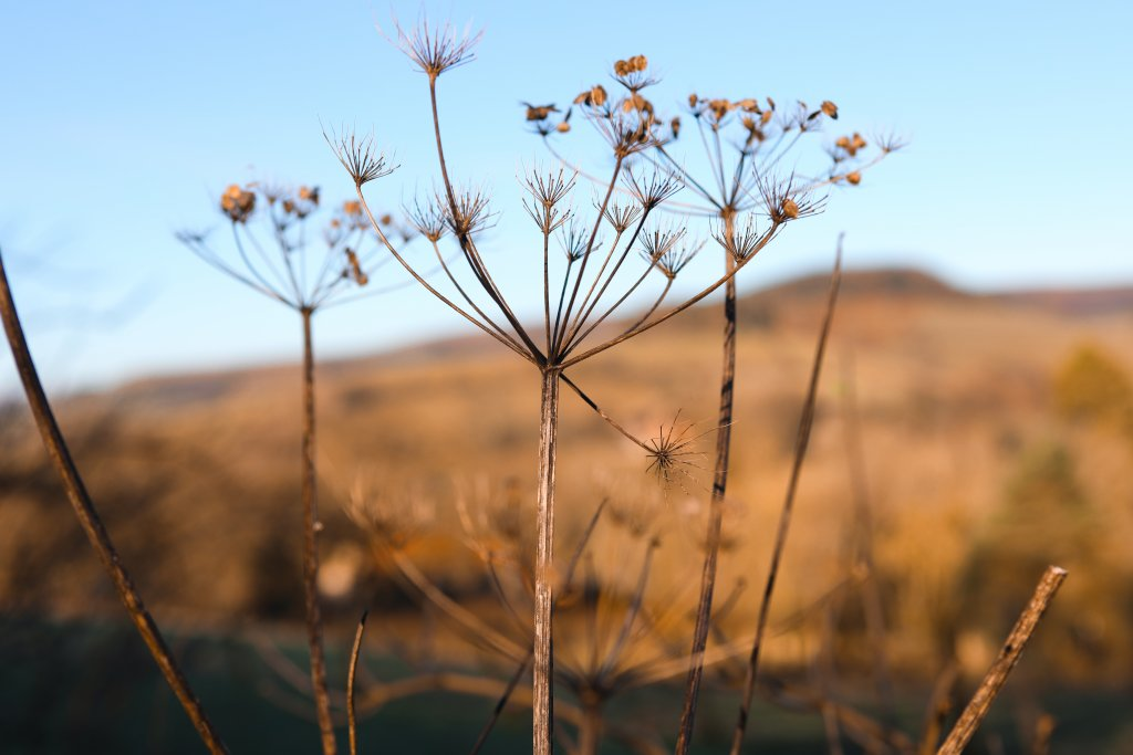 Winters Gold - Cow Parsley